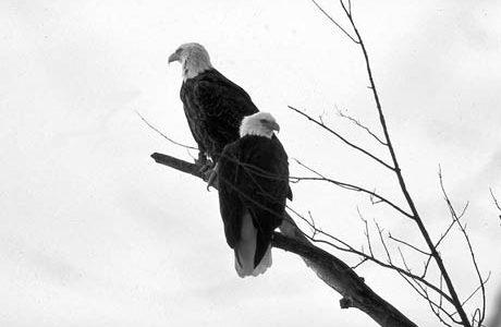 Bald eagles, bald eagles iowa