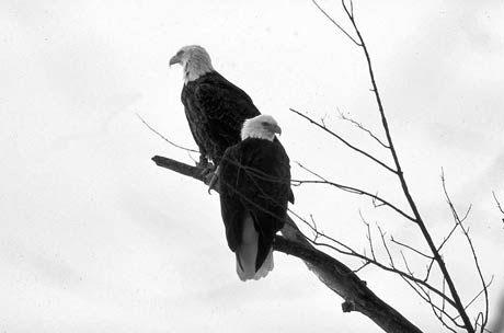 Bald eagles, bald eagles iowa