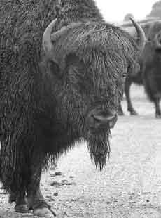Buffalo at Neal Smith Refuge