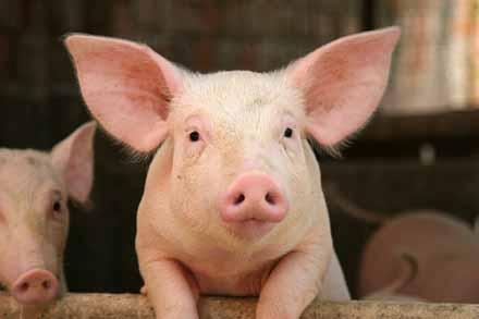 pig, hog, cute pig