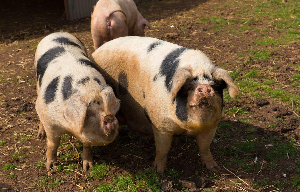 farm pigs, pigs