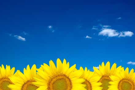 sunflower, summer sky, blue sky, yellow flowers