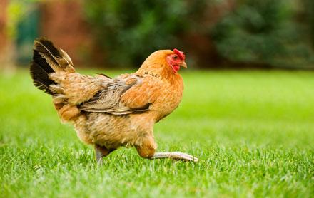 backyard chicken, chicken, hen