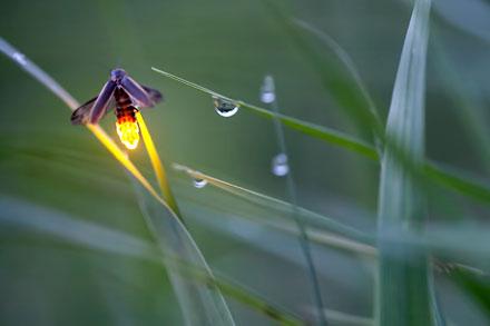 firefly, fireflies, Radim Schreiber