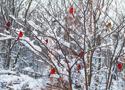 cardinals, cardinals in winter, diane porter
