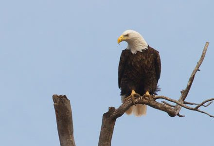 bald eagle, diane porter
