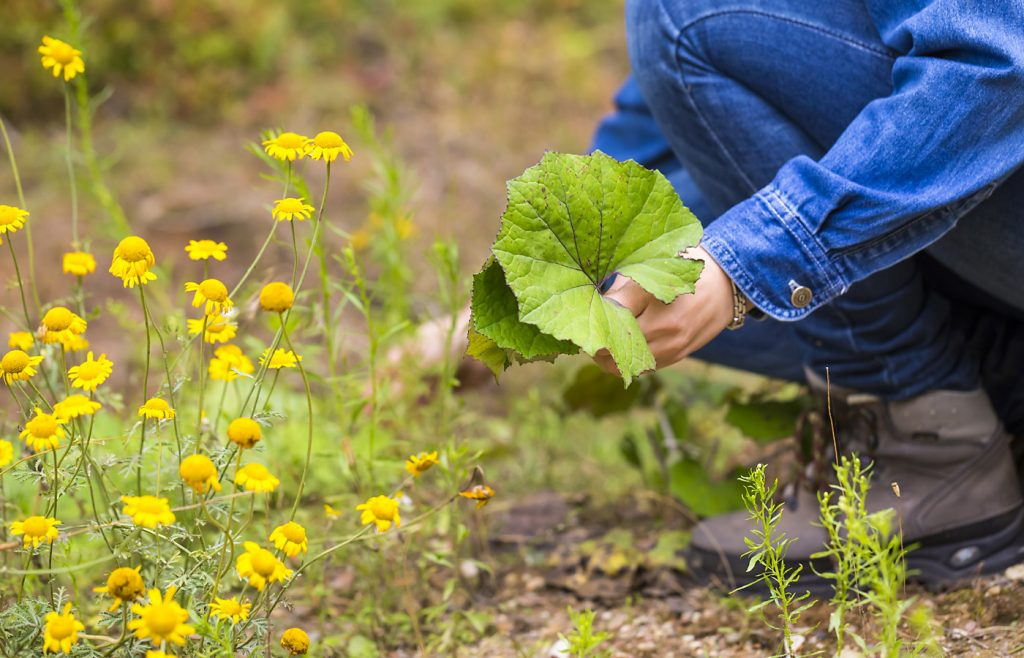 gardening, coltsfoot