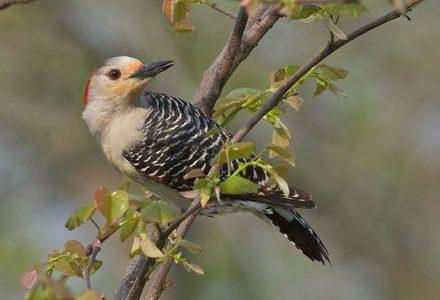 red-bellied woodpecker, diane porter