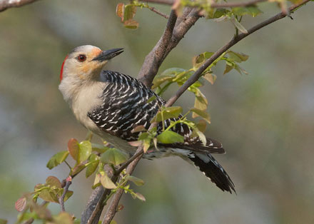 red-bellied woodpecker, diane porter