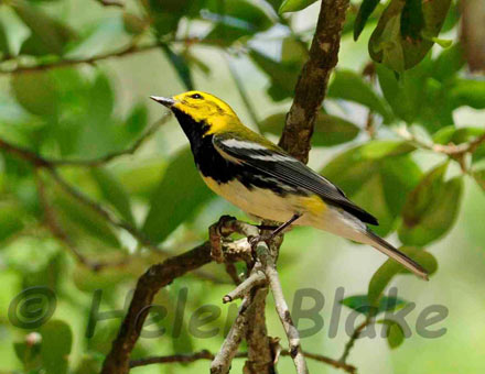black thraoted green warbler