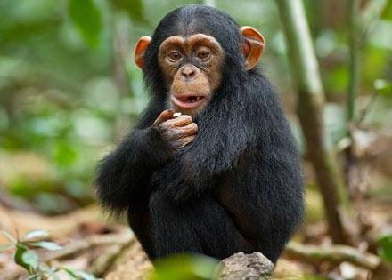 chimpanzee movie