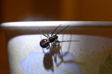 steotodas, spider