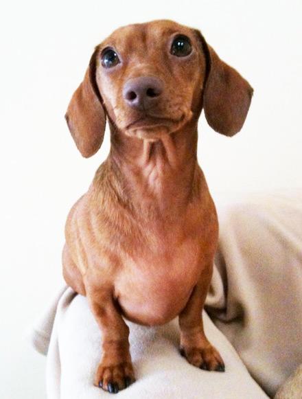 dachshund, doxie