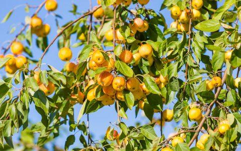 apple tree, fruit tree