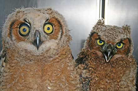 baby owls, baby great horned owl, great horned owl