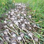 garlic, garlic harvest