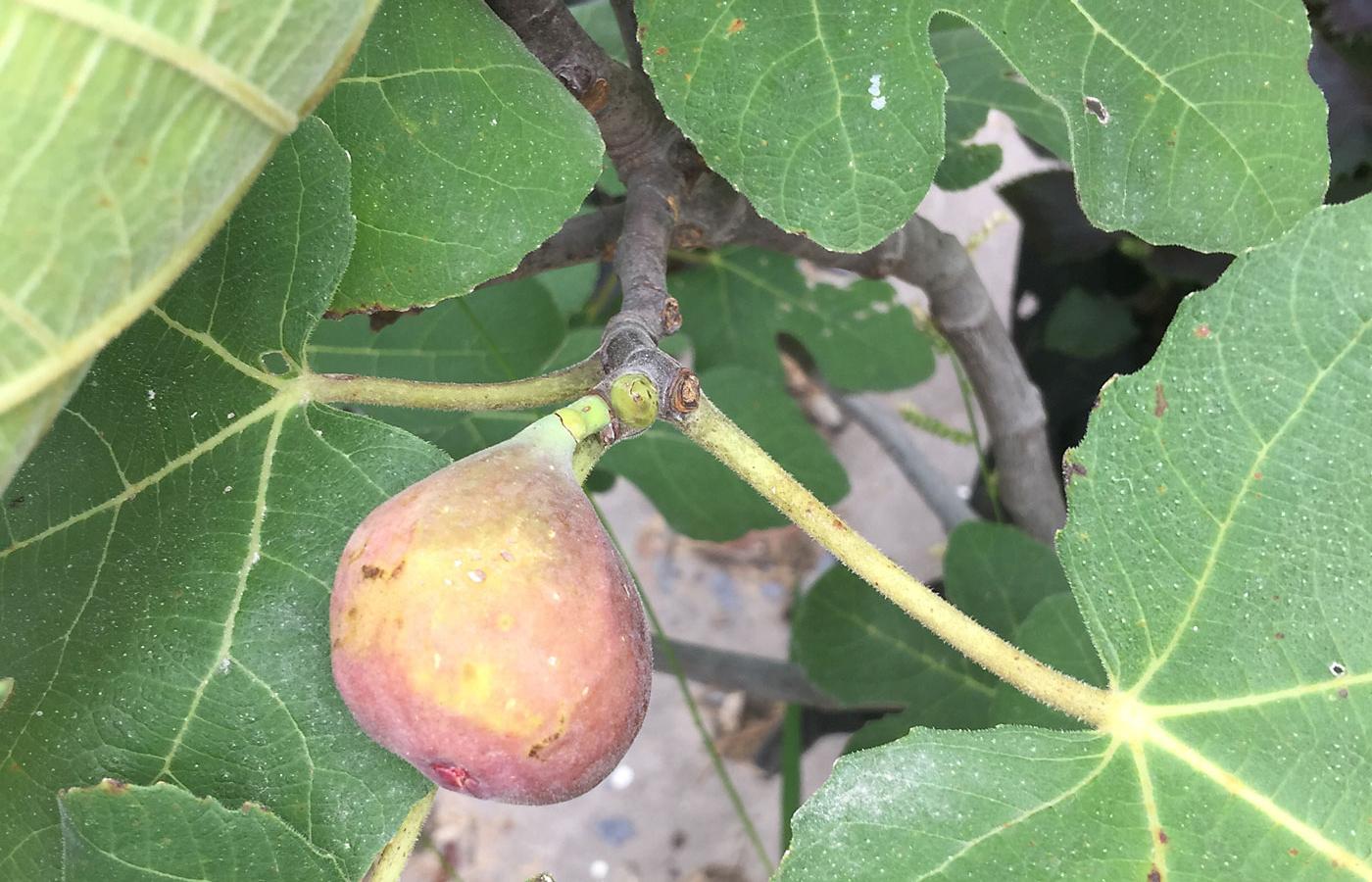 figs iowa