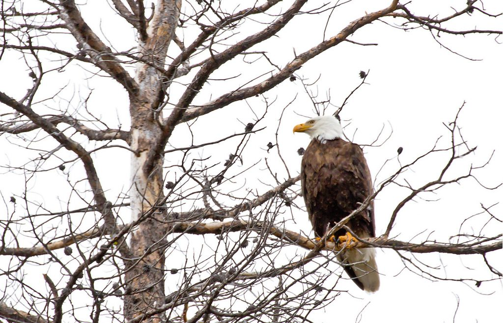 See Bald Eagles As They Winter In The Quad Cities Iowa Source