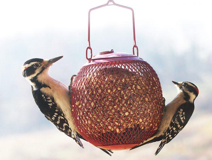 hairy woodpecker, downy woodpecker